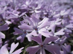 紫芝桜の写真